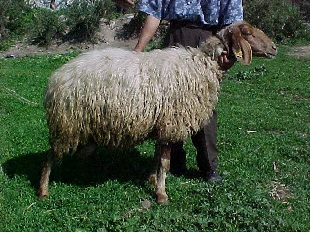 Awassi ovca MG001_3